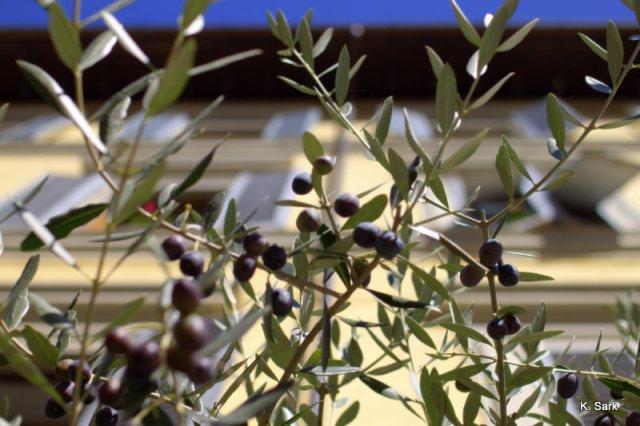 Olive tree (photo by K.Sark)