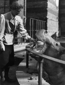 Prof. Dr. Katharina Heinroth (1897 - 1989) mit Flußpferd Knautschke im Berliner Zoo